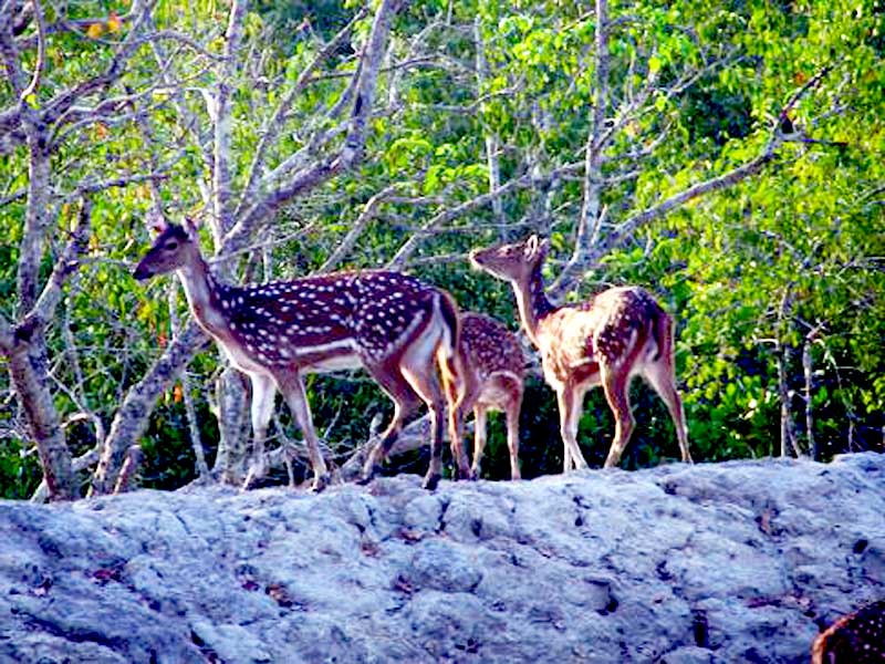 Deer-at-Sundarban
