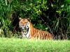 Sundarban-Tiger