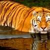 _Royal Bengal Tiger Sundarban Bangladesh
