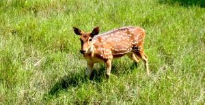 Sundarban Deer