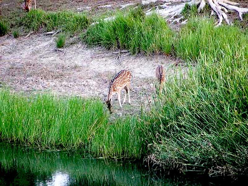Sundarban-Deer