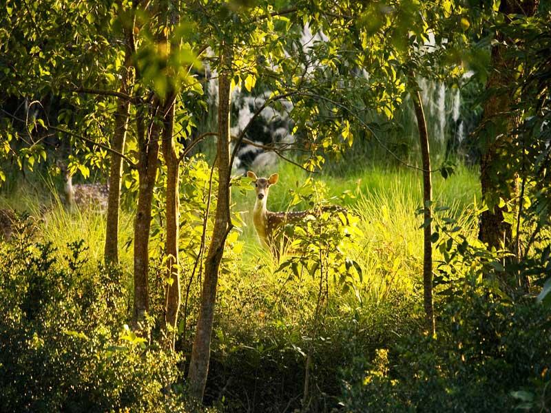 Sundarban tree
