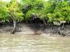Sundarban forest